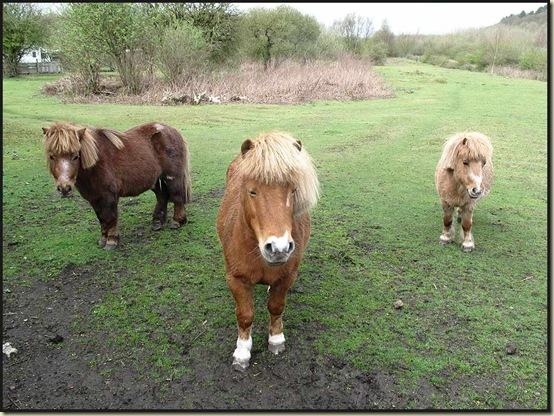 Shetland ponies near Haigh
