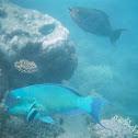 Blunthead Parrot Fish