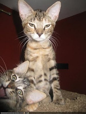 cat_photobomb_2_20091011_1367294307