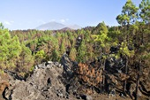 Reserva Natural Especial El Chinyero (El Tanque) afectada por el incendio del verano de 2007 (DM)