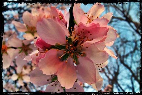 flores_de_almendro
