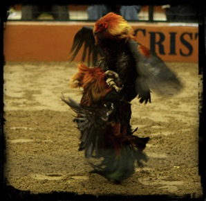 Pelea_de_Gallos