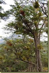 Wild Mistletoe