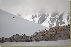 Skua threatening penguins