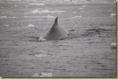 Whale showing dorsal fin