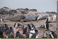 Elephant Seals (1)
