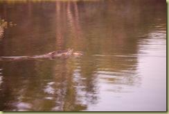 Croc grabs prey