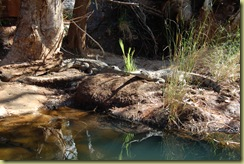 Crocodile Freshwater 2