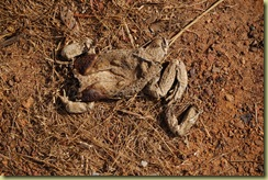 Dead Cane Toad