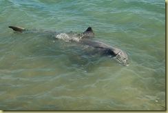Pat's Dolphin
