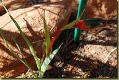 Kangaroos Paw