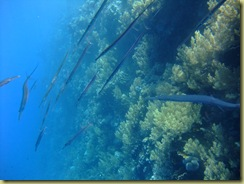 Pipe Fish 1