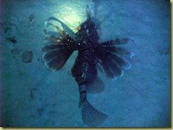 Lion Fish at Night 2