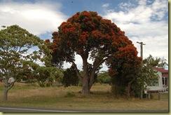 Pohutukawa tree Tolaga Bay