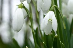Snowdrops-(2)