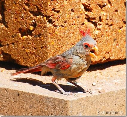 5. Juvenile male pyrrhuloxia