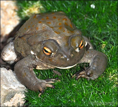 Desert toad 7-3-10