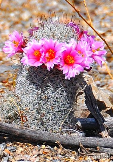 10. Pincushion cactus