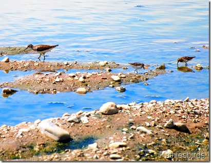 1. Sandpipers