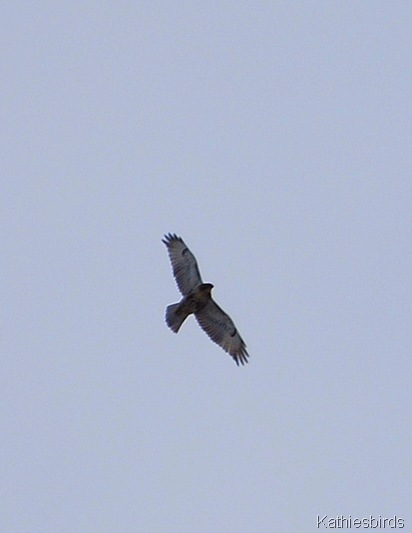 15. red-tailed hawk k