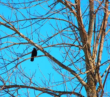 16. crow tree k