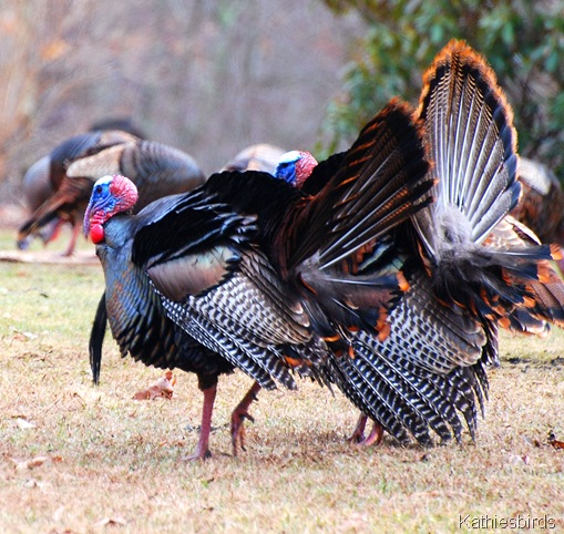 4. Wild turkeys_kathiesbirds