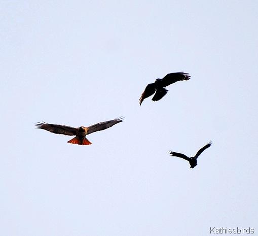 4. crow mob-kab