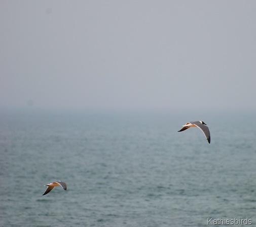 1. gulls-kab