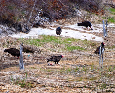 7. vultures-kab