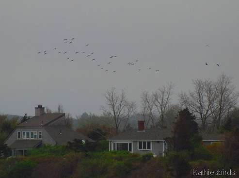 5. cormorants-kab
