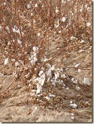 CottonField (2)