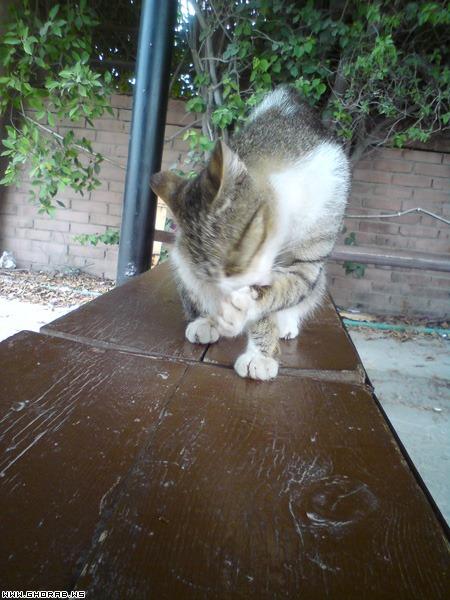 قطة تلعق - تمص احد أرجلها