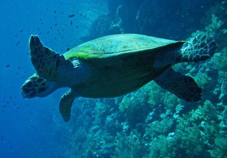 turtle - سلحفاة تعيش في الماء - ترسة