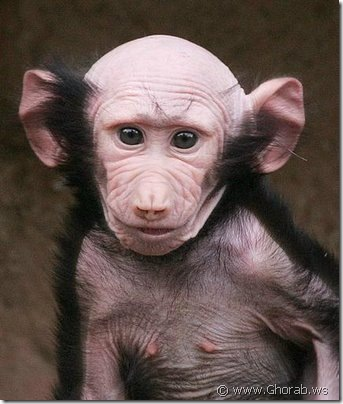 baboon suffers from some genetic disorder where its face hair is missing
