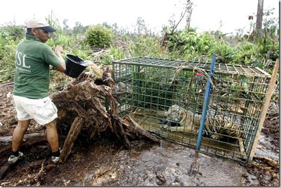 Indonesia Tiger Attacks