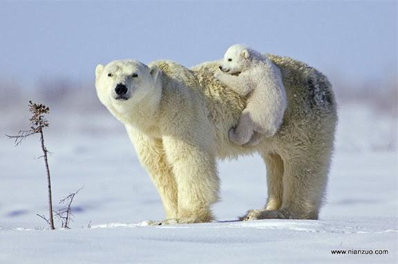猛兽母子情 小北极熊调皮,但是妈妈喜欢,北极熊,母爱