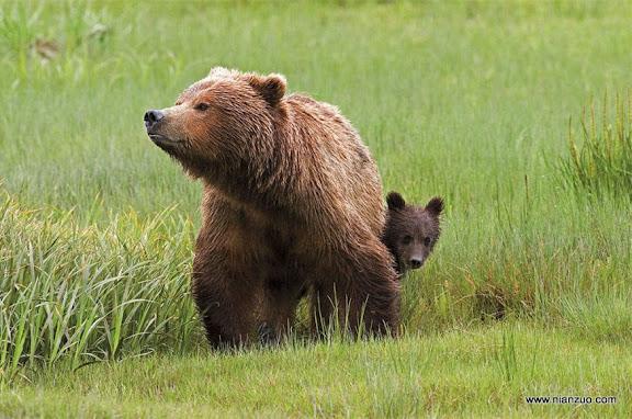 猛兽母子情 棕熊宝宝很害羞,熊