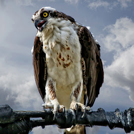 Osprey on a power line by Sandy Scott - Animals Birds ( birds of prey, male osprey, birds, raptors, osprey,  )