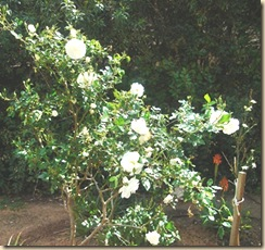 ruusut valkoiset