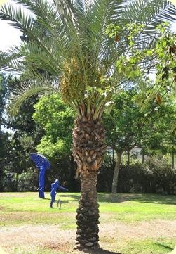Pieni palmu