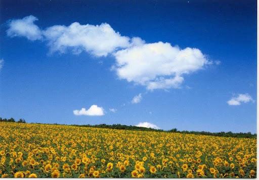 http://lh6.ggpht.com/_LEKLHyQ__uY/SuqsBoqRliI/AAAAAAAALIo/YcbDTCnNzrM/Sunflower%20field.jpg