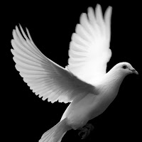 bigstockphoto_White_Dove_In_Flight__976408.jpg