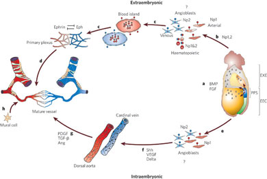 angiogenesisanatomy.jpg