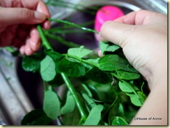 stripping cangkuk manis leaves