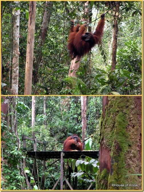 Semenggoh Alpha Male Orangutan 2