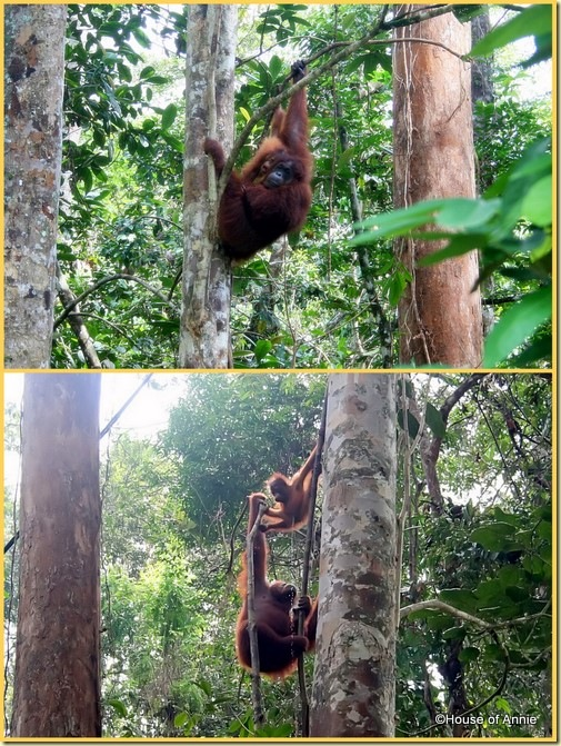 Semenggoh mother and infant orangutan 3