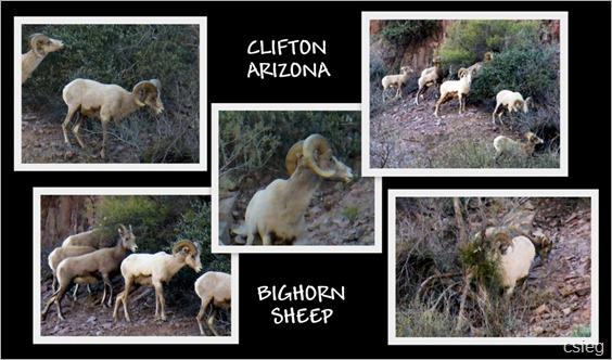 Clifton BH SHEEP