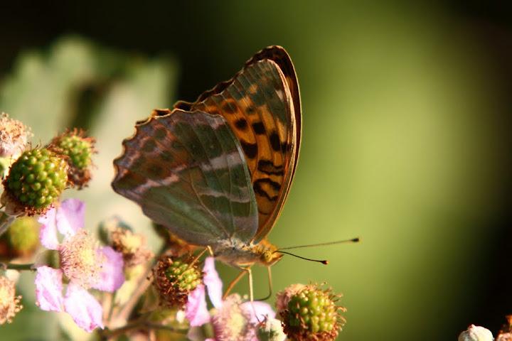 Farfalla ignota (a me) su fiori di rovo IMG_3748