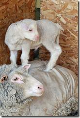 New lambs 013