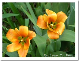 tn_2010-04-15 Tulips (6)